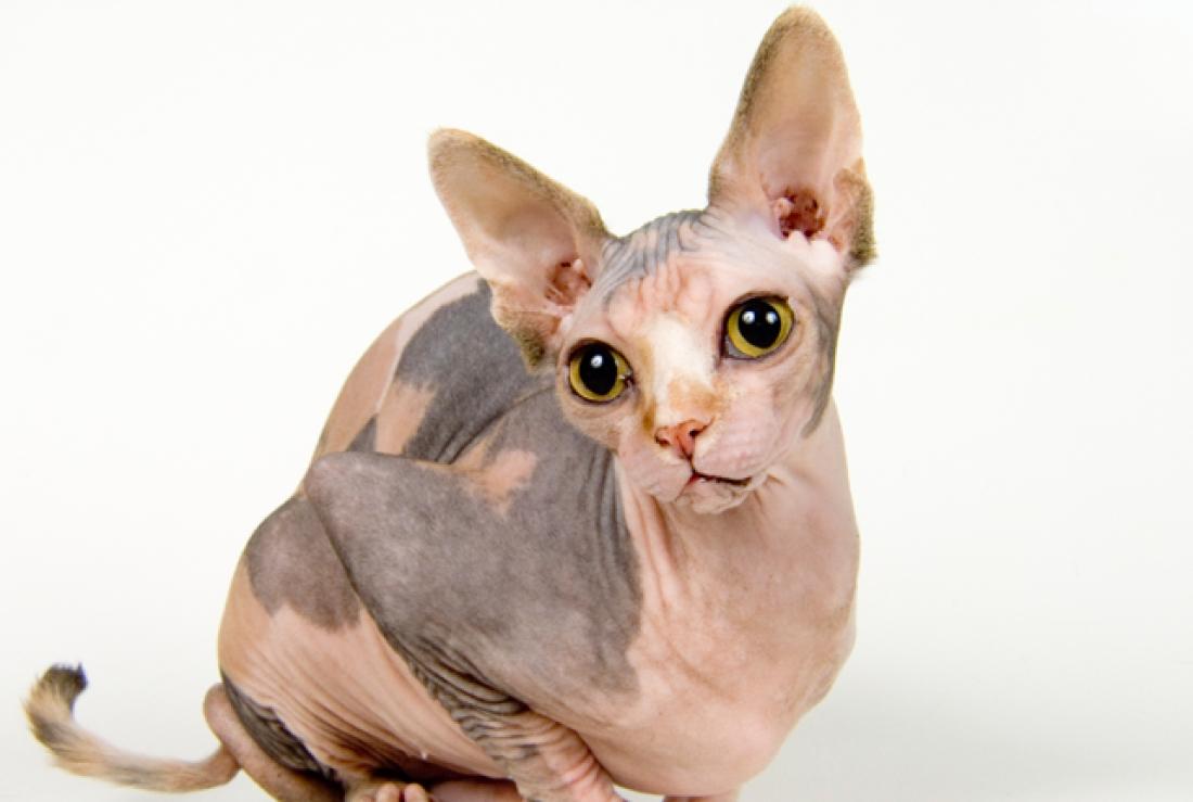 Gato Sphynx - Universo de Gatos Blog