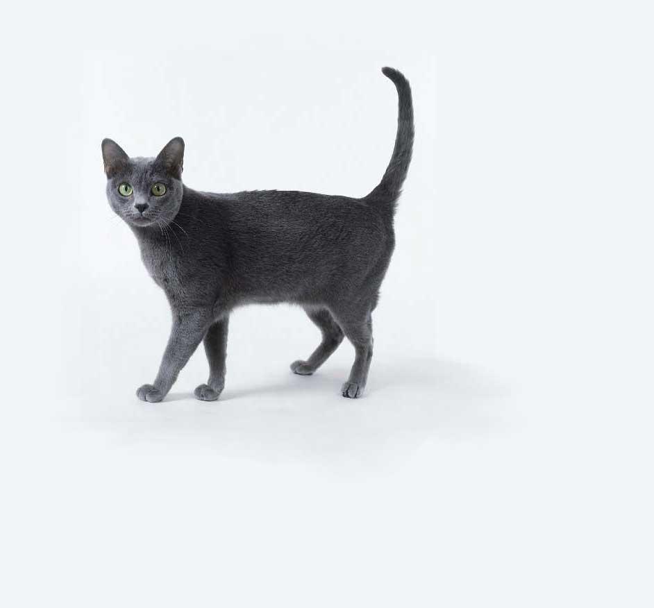 Korat Gato
