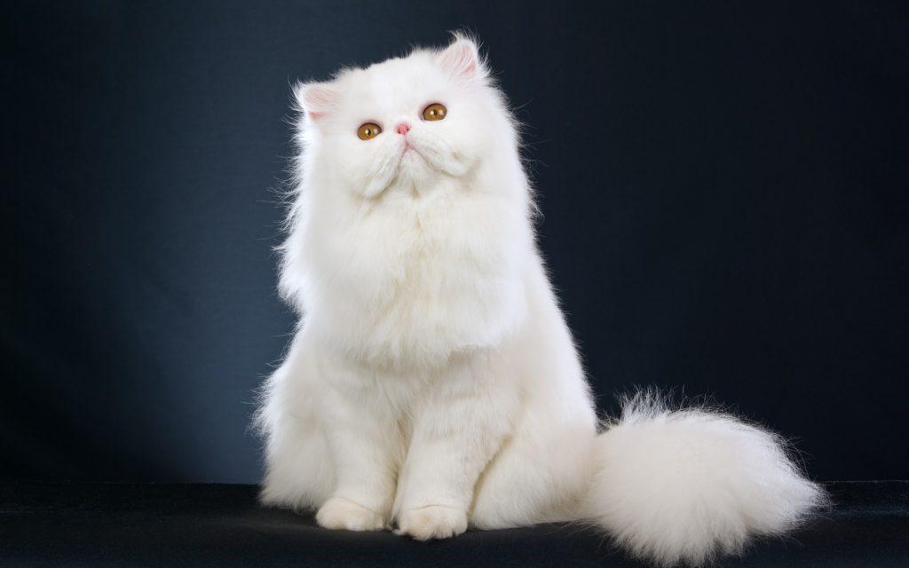 Persa Gato