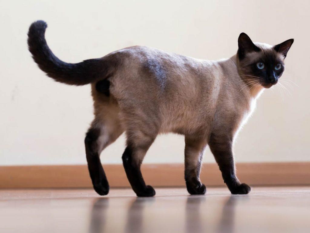 Siamês Gato