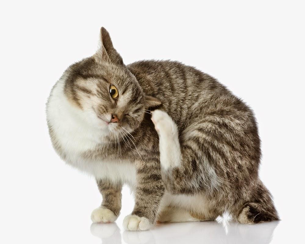 As Pulgas Em Gatos Podem Provocar Anemia Universo De